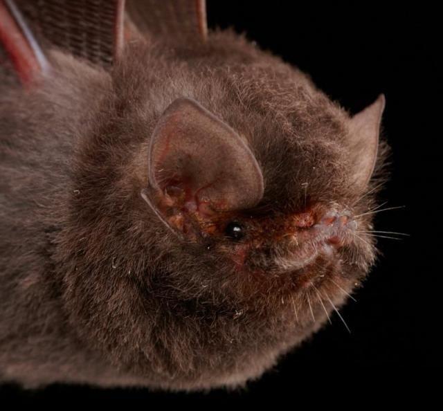 Diversidade de morcegos 08