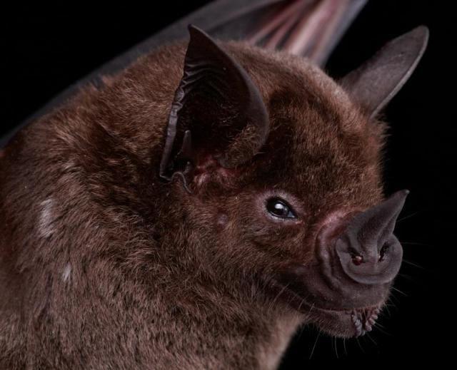 Diversidade de morcegos 10