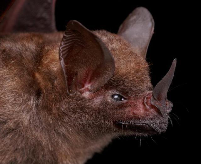 Diversidade de morcegos 11