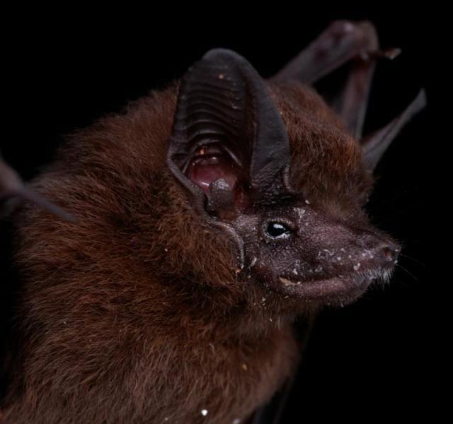 Diversidade de morcegos 12