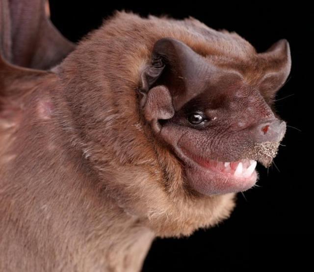 Diversidade de morcegos 17