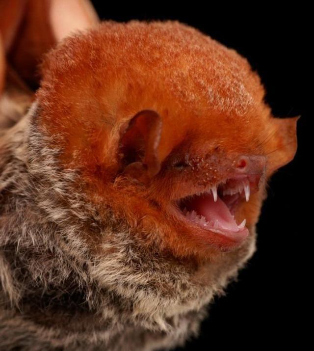 Diversidade de morcegos 18