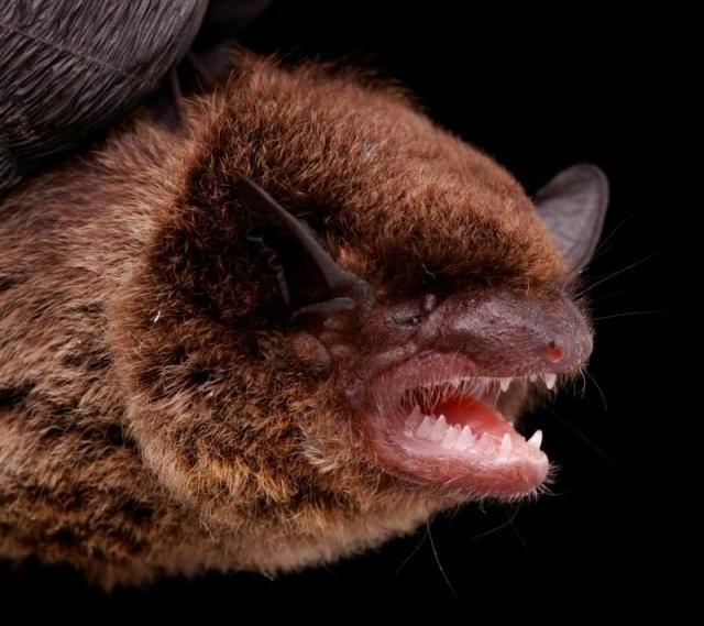 Diversidade de morcegos 20