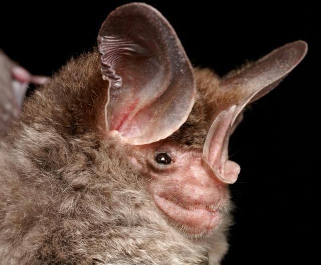 Diversidade de morcegos 25