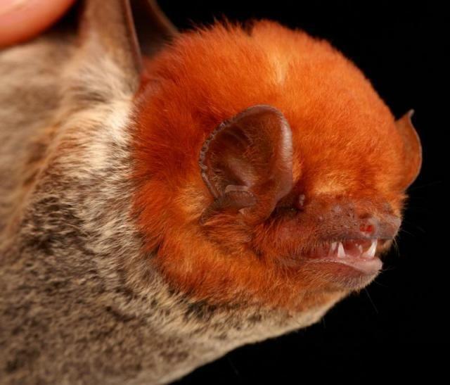 Diversidade de morcegos 26
