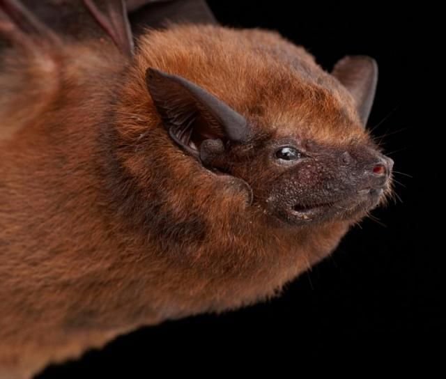 Diversidade de morcegos 27