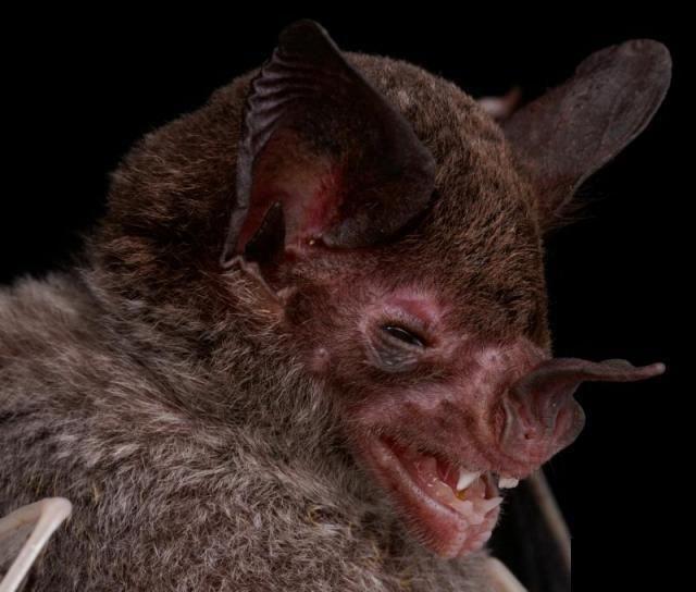 Diversidade de morcegos 28