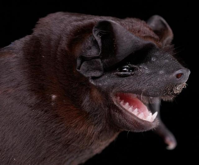 Diversidade de morcegos 29