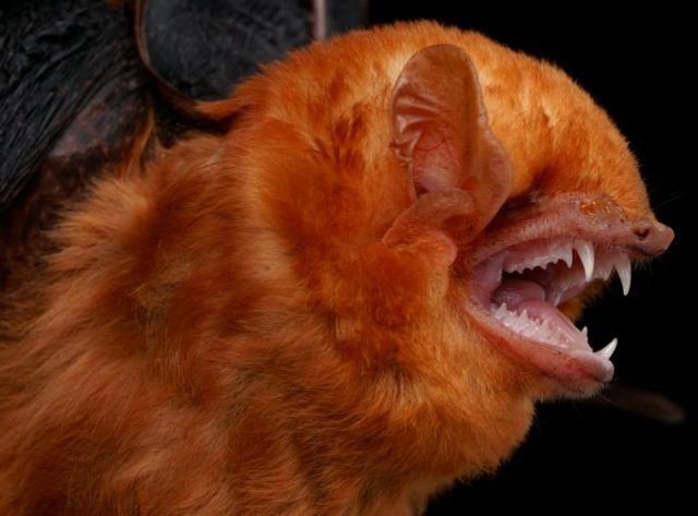 Diversidade de morcegos 30