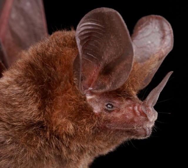 Diversidade de morcegos 31