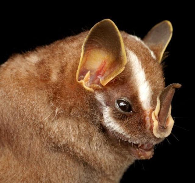 Diversidade de morcegos 32