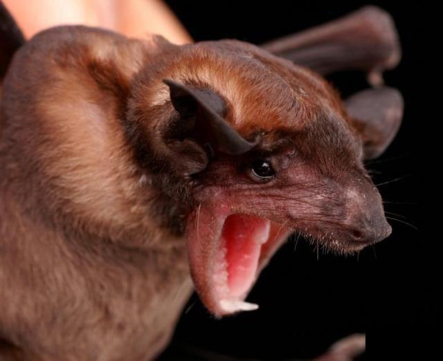 Diversidade de morcegos 33