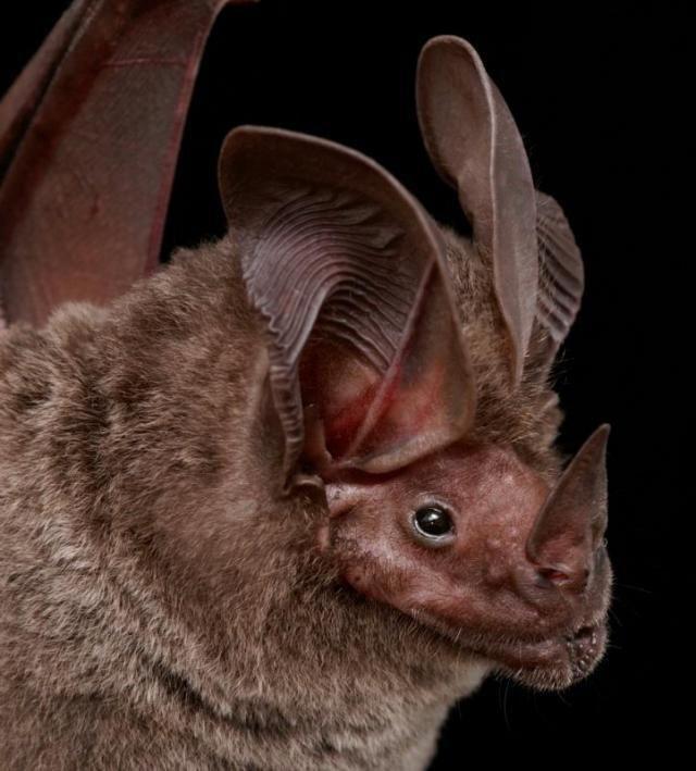 Diversidade de morcegos 34