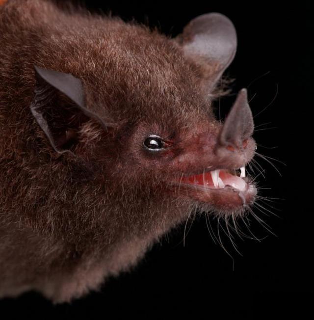 Diversidade de morcegos 36