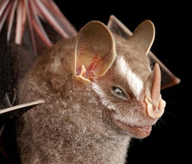 Diversidade de morcegos 37