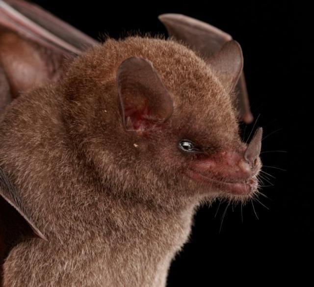 Diversidade de morcegos 38