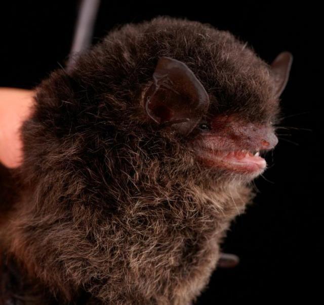 Diversidade de morcegos 40