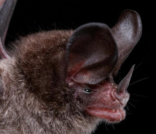 Diversidade de morcegos 41