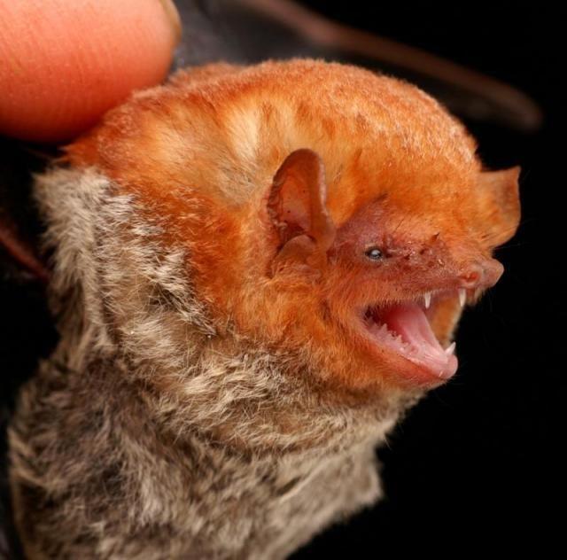 Diversidade de morcegos 42