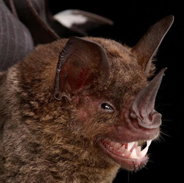 Diversidade de morcegos 43