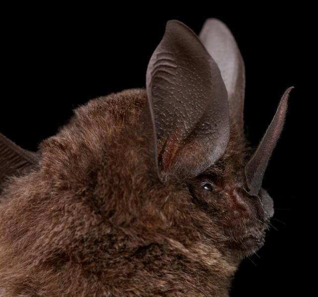 Diversidade de morcegos 49