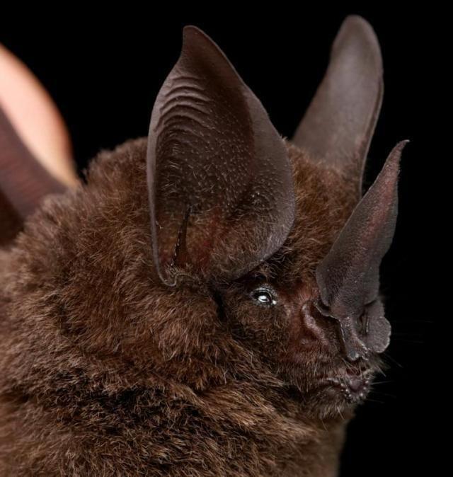 Diversidade de morcegos 50