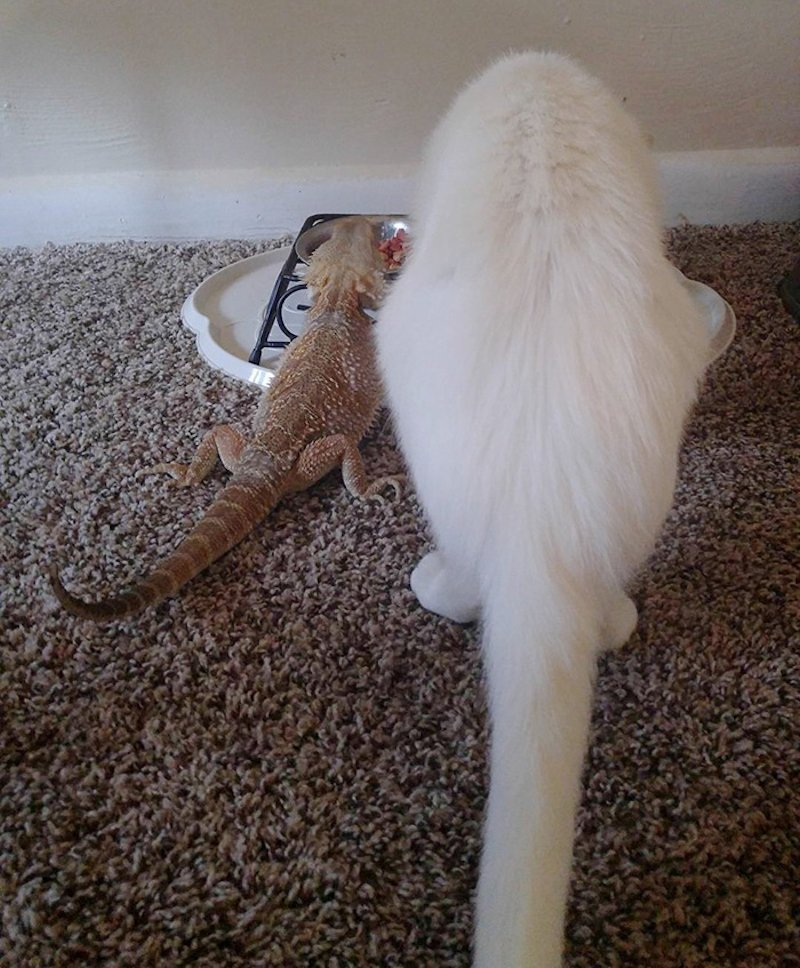 Um dragão e um gato são os mais incomuns melhores amigos 07