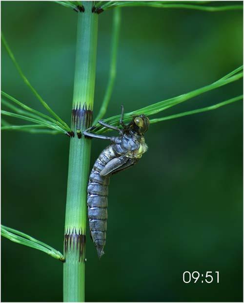 Fascinante sequência de uma libélula saindo de seu exoesqueleto 01