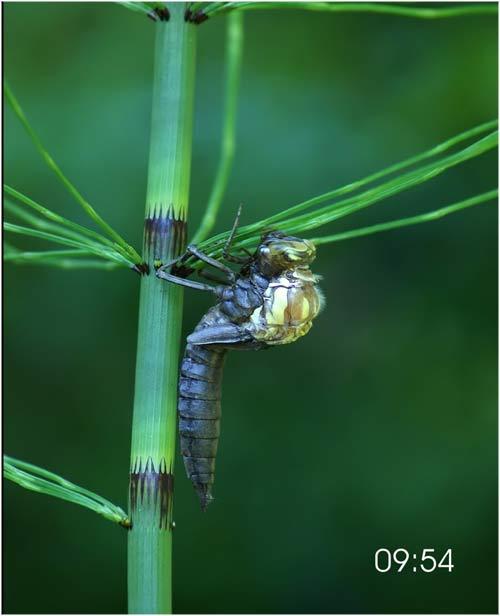 Fascinante sequência de uma libélula saindo de seu exoesqueleto 02