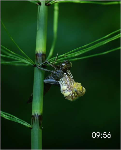 Fascinante sequência de uma libélula saindo de seu exoesqueleto 03