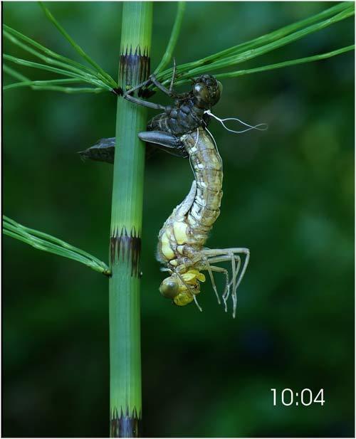 Fascinante sequência de uma libélula saindo de seu exoesqueleto 04