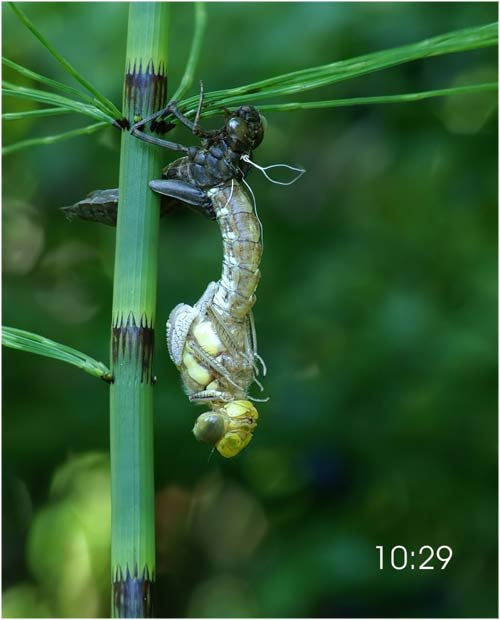 Fascinante sequência de uma libélula saindo de seu exoesqueleto 05