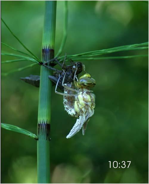 Fascinante sequência de uma libélula saindo de seu exoesqueleto 06