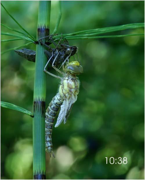 Fascinante sequência de uma libélula saindo de seu exoesqueleto 07