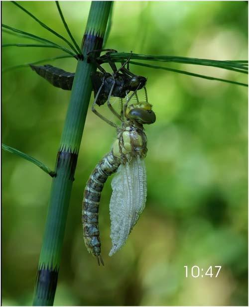 Fascinante sequência de uma libélula saindo de seu exoesqueleto 08