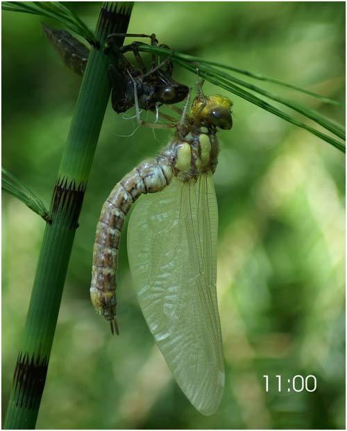 Fascinante sequência de uma libélula saindo de seu exoesqueleto 09