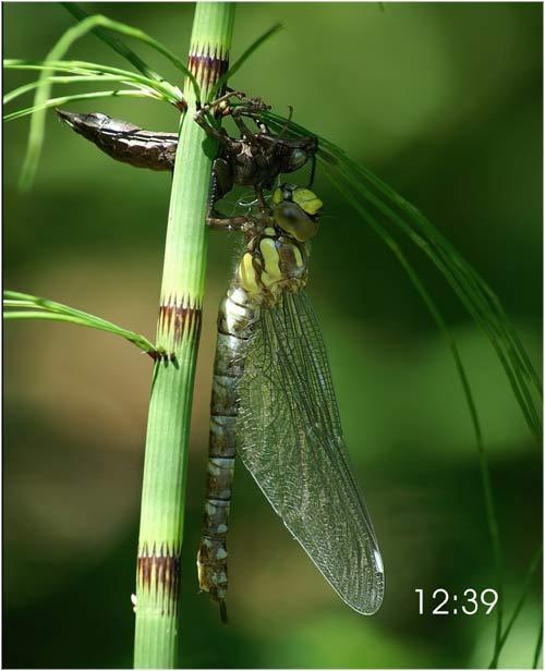 Fascinante sequência de uma libélula saindo de seu exoesqueleto 10