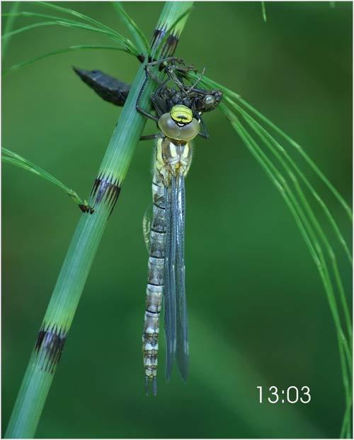 Fascinante sequência de uma libélula saindo de seu exoesqueleto 11