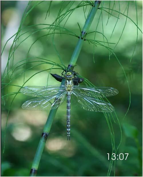 Fascinante sequência de uma libélula saindo de seu exoesqueleto 12