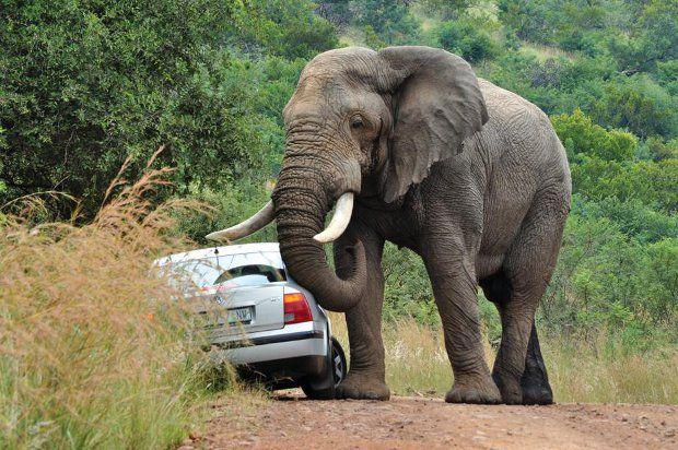 Safari + elefante irado = baita susto 04