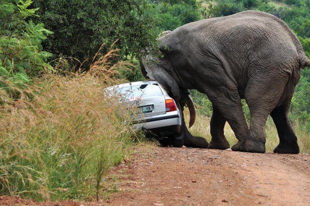 Safari + elefante irado = baita susto 05