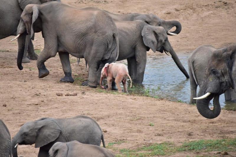Fotógrafo capta filhote de elefante albino extremamente raro em um parque de vida selvagem na África 01