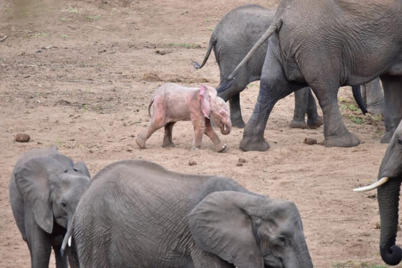 Fotógrafo capta filhote de elefante albino extremamente raro em um parque de vida selvagem na África 02