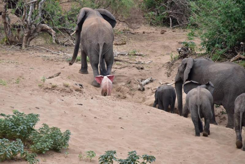 Fotógrafo capta filhote de elefante albino extremamente raro em um parque de vida selvagem na África 04