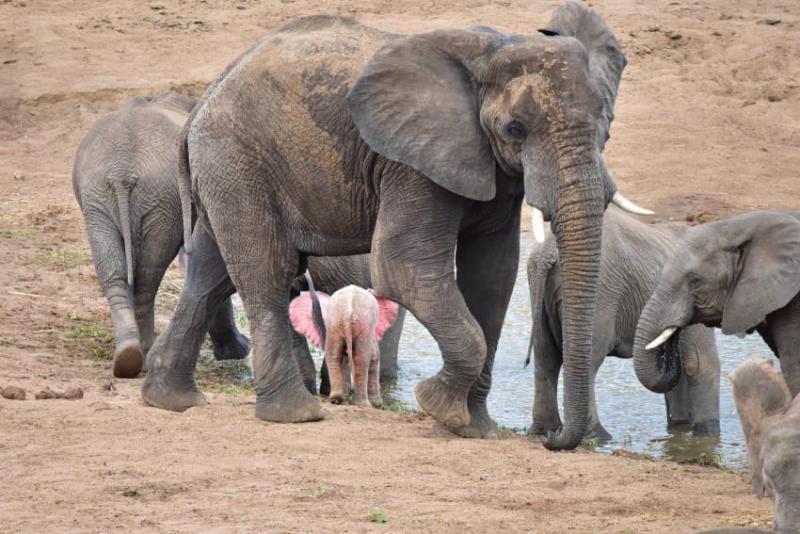 Fotógrafo capta filhote de elefante albino extremamente raro em um parque de vida selvagem na África 06