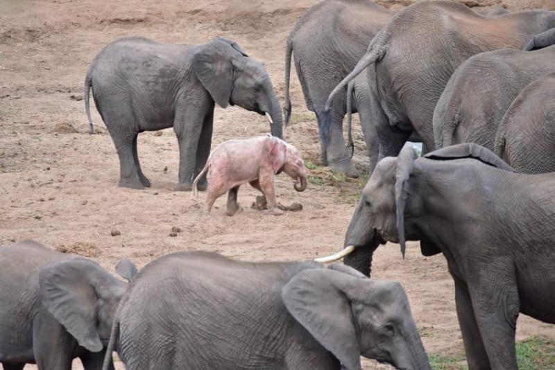 Fotógrafo capta filhote de elefante albino extremamente raro em um parque de vida selvagem na África 07