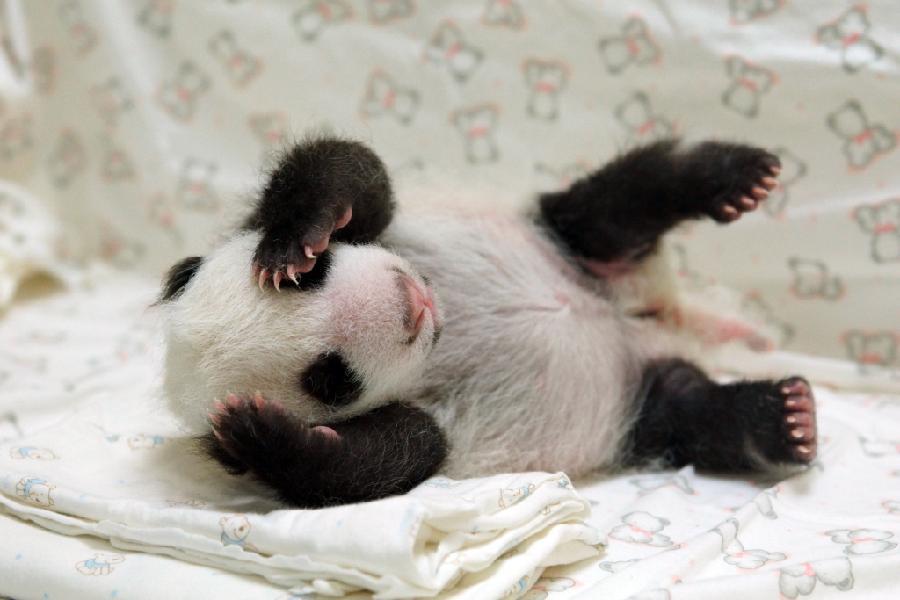 O momento em que um pandinha é devolvido para sua mãe em cativeiro