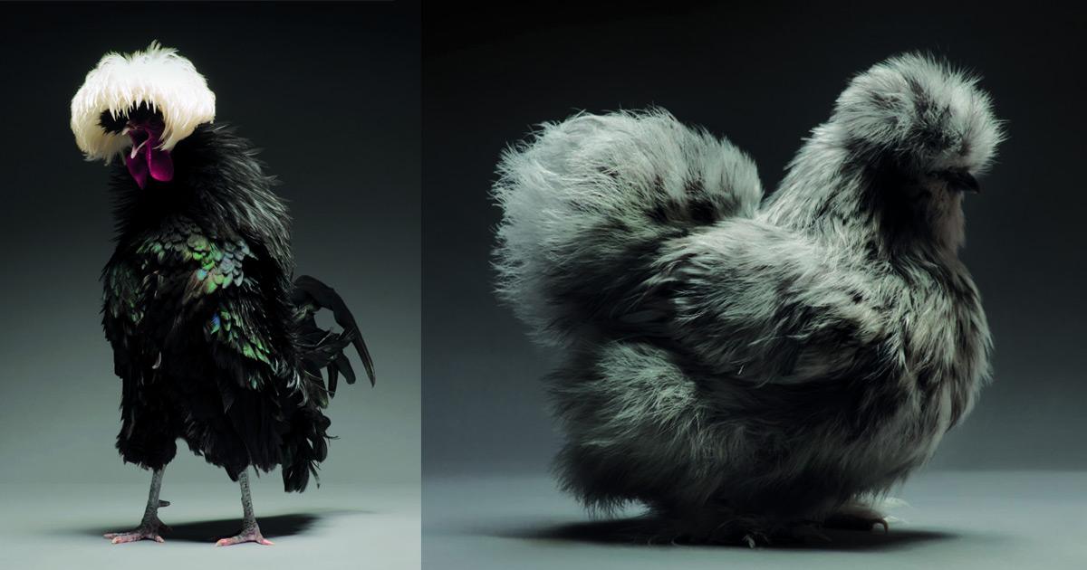 Retratos das galinhas mais bonitas do planeta capturam sua beleza subestimada 01
