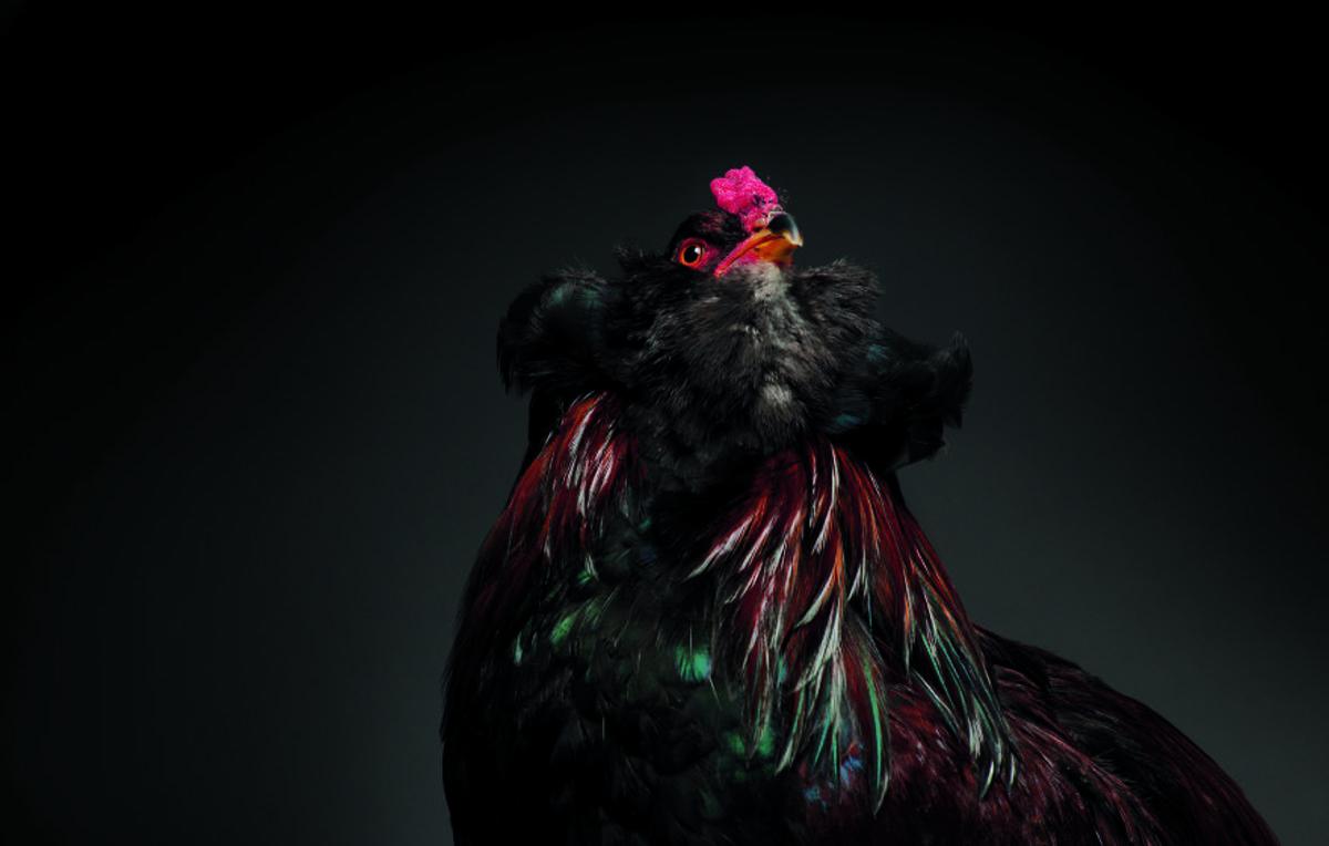 Retratos das galinhas mais bonitas do planeta capturam sua beleza subestimada 05