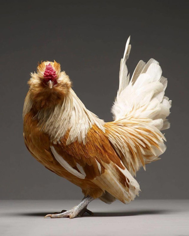 Retratos das galinhas mais bonitas do planeta capturam sua beleza subestimada 08